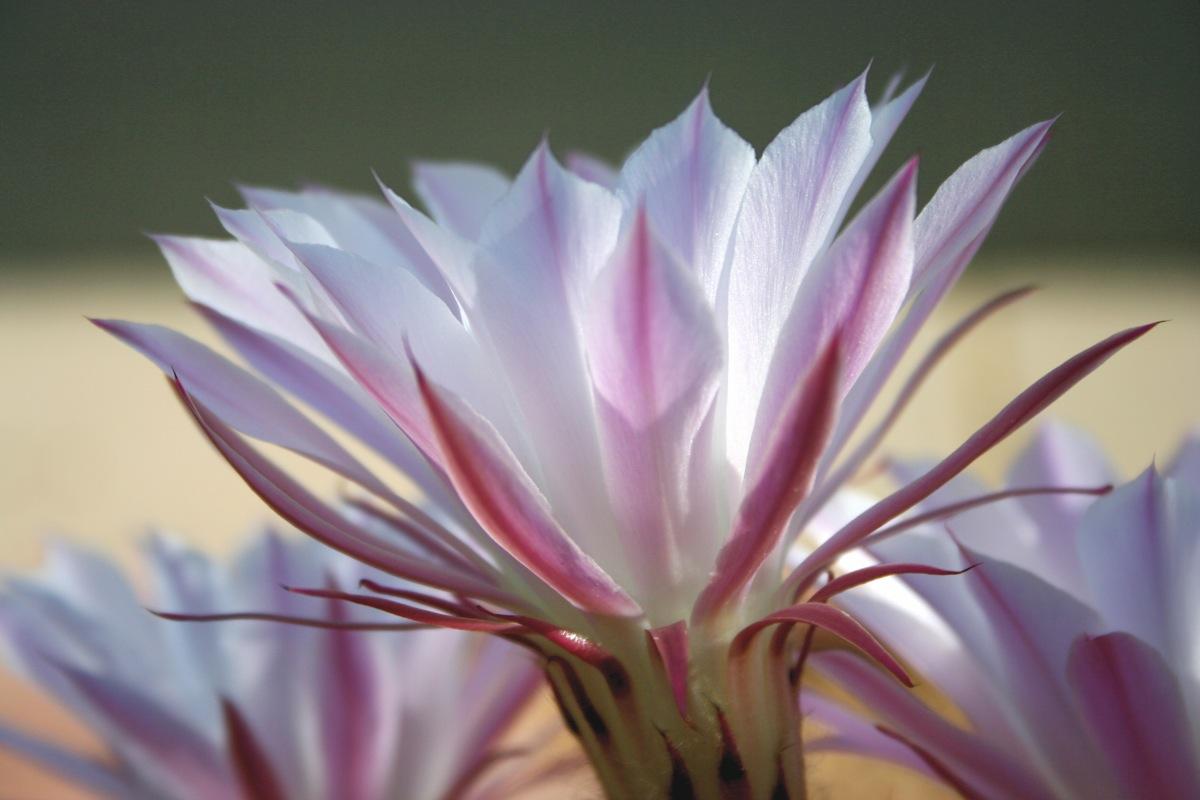ceres flower